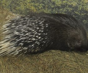 Porcupine Stock Photo 14