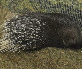 Porcupine Stock Photo 14