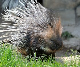 Porcupine Stock Photo 15