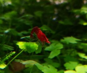 Red shrimp photo