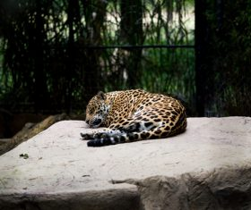 Spots leopard lying in zoo Stock Photo