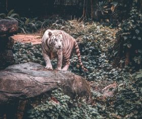 Striped tiger in zoo Stock Photo