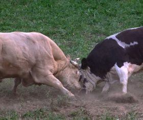 Two fighting cattle Stock Photo