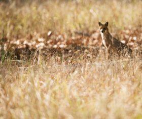 Wild fox on meadow Stock Photo