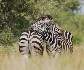 Wild zebras joyful on meadow Stock Photo