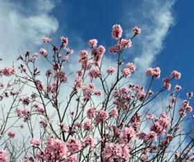 blooming cherry blossom and cloudy sky Stock Photo