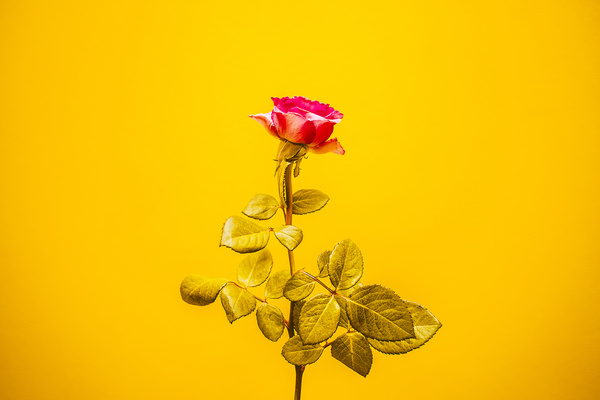 red rose on yellow background Stock Photo