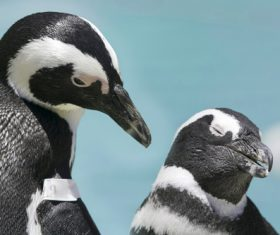 African penguins Stock Photo 01