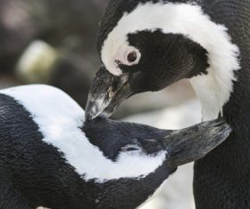 African penguins Stock Photo 06