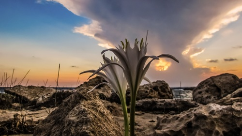 Blooming lilies on barren land Stock Photo