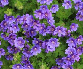 Blooming purple geranium flower Stock Photo