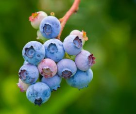 Blueberries close-up on a tree branch Stock Photo