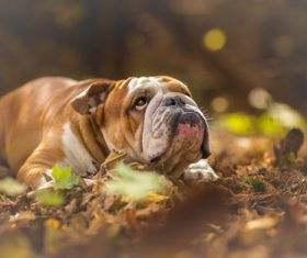 Bulldog lying on the ground Stock Photo