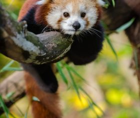 Cute panda lying on branch Stock Photo