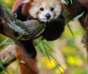 Cute panda lying on branch Stock Photo
