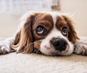 Cute puppy lying on the rug Stock Photo