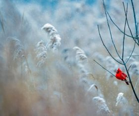 Cute red tiny bird on leafless branch in winter Stock Photo