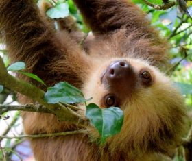 Cute sloth swinging on tree Stock Photo