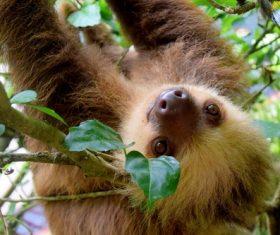 Cute sloth swinging on tree Stock Photo