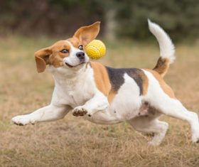 Dog chasing the ball Stock Photo 01