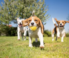 Dog chasing the ball Stock Photo 02