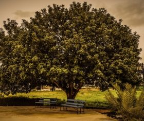 Empty benches under big luxuriant leaves tree Stock Photo