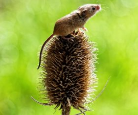 Field mouse standing on the plant Stock Photo