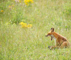 Fox cub sitting on the grass Stock Photo