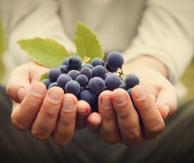 Hand holding fresh grapes Stock Photo