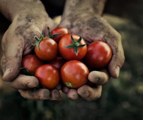 Hand holding fresh tomato Stock Photo