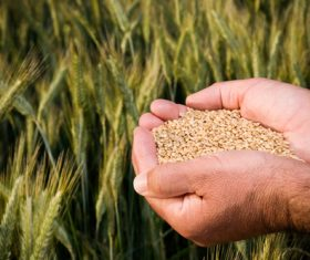 Hand holding wheat Stock Photo