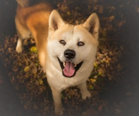 Lovely Akita dog Stock Photo