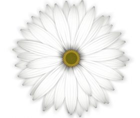 White chrysanthemum background vectors 01