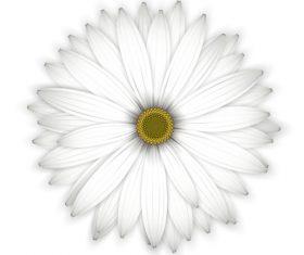 White chrysanthemum background vectors 01