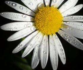 dew on fresh white flower Stock Photo