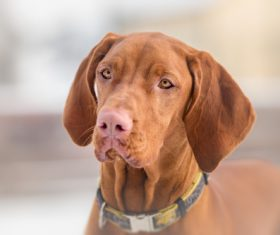 vizsla Stock Photo