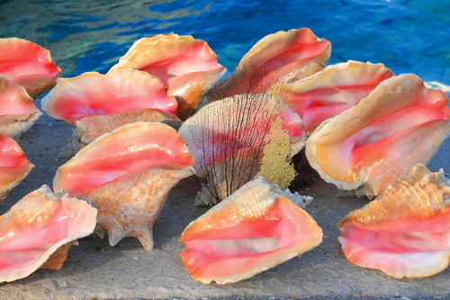 Bahamian giant conch Stock Photo