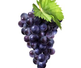 Fresh grape illustration vector