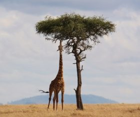 Giraffe stretches his long neck to eat leaves Stock Photo