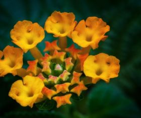 Orange lantana flowers Stock Photo