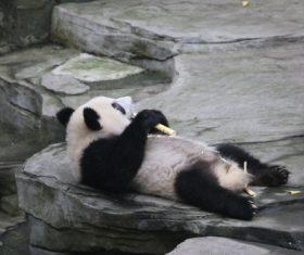 Panda lying on the ground eating bamboo Stock Photo