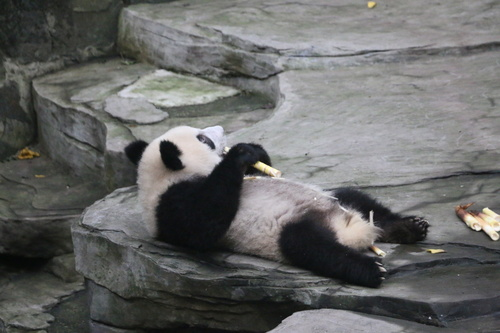 Panda lying on the ground eating bamboo Stock Photo