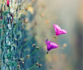 Petunia on the fence Stock Photo