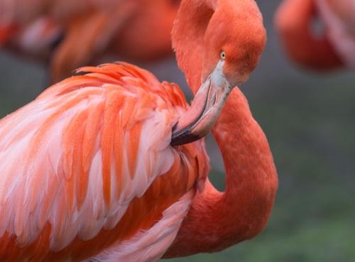 Red flamingo Stock Photo