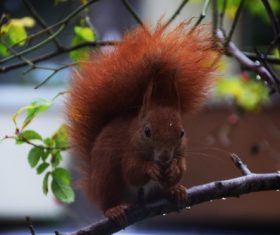 Red squirrel on tree branch Stock Photo