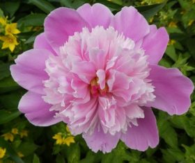 Spring blooming pink peony flowers Stock Photo