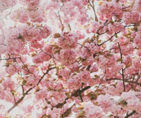 Stock Photo Branches covered with pink flowers