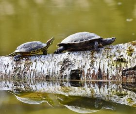 Two turtles walking on wood Stock Photo