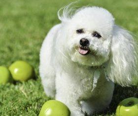 White cute beagle Stock Photo
