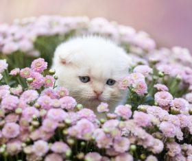White scottish fold cat Stock Photo